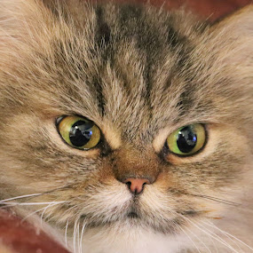 Miss Naomi  by Linda    L Tatler - Animals - Cats Portraits