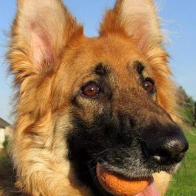 LLwynog  by Welsh Hawk - Animals - Dogs Portraits