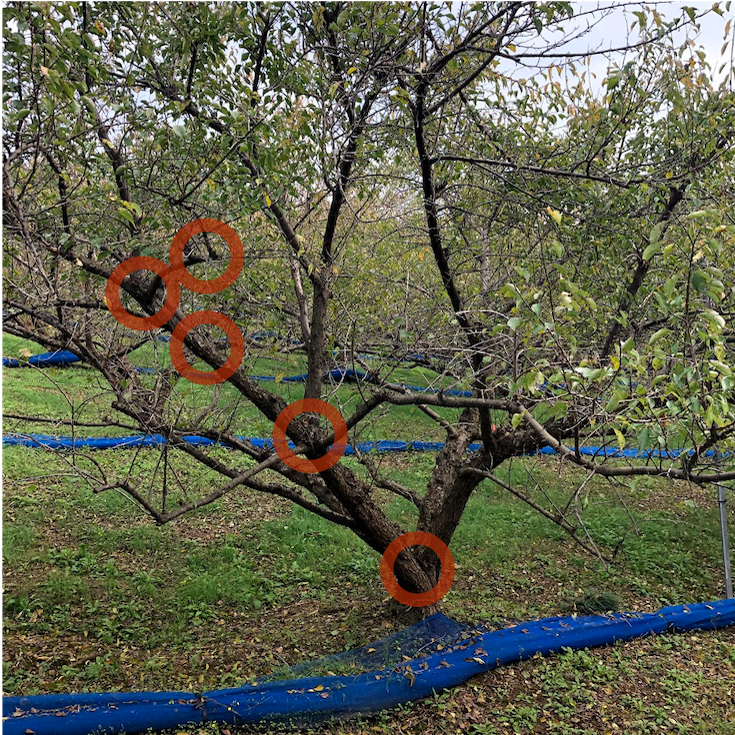 分岐点に印をつけた梅の木