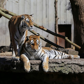 by Buffan Walter - Animals Lions, Tigers & Big Cats ( tiger, zoo, pair, couple, striped, tigers,  )