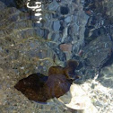 European sea slug
