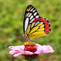 The Common Jezebel Butterfly
