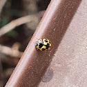 14 spotted ladybird beetle