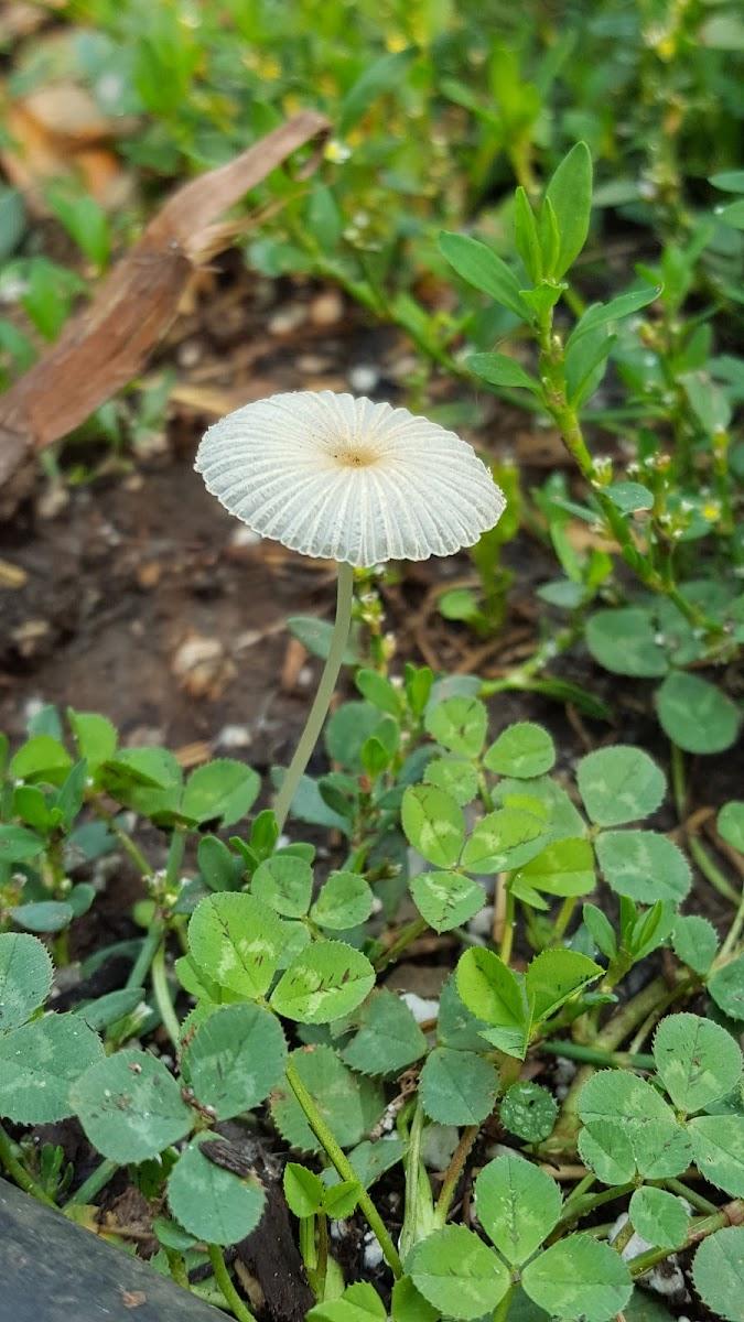 Spruce parasol mushroom