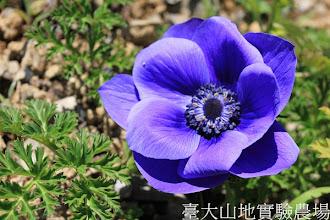 Photo: 拍攝地點: 梅峰-壹平台 拍攝植物:白頭翁 拍攝日期:2013_02_15_FY
