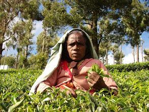 Photo: 7B220958 na plantacji herbaty