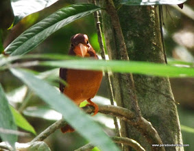 Photo: Ruddy Kingfisher, Sepilok