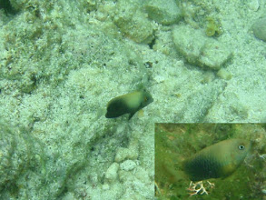 Photo: Acanthurus pyroferus, (Mimic Tang) and the lower right hand corner is the damselfish Stegastes nigricans (Dusky farmerfish) it is mimicing, Siquijor Island, Philippines