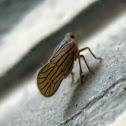 Meenoplid Pygmy Planthopper