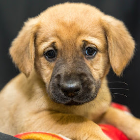 Cider by Michele Williams - Animals - Dogs Puppies ( pet, adopt, rescue, ears, fur, puppy, cute, dog, nose, eyes,  )