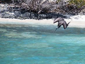 Photo: Diving Heron