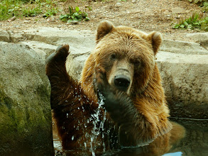 Photo: Back foot, front foot... ..... Rub-a-dub-dub..... there's a bear in my tub!!! --------------------------------------------------------------------- Where does a brown bear take a bath? Where ever he wants... :D A little something for#ThirstyThursdayPics curated by +Giuseppe Basile& +Mark Esguerra! And for all those bear loving friends out there.... I surprised there isn't a theme for bears... :D