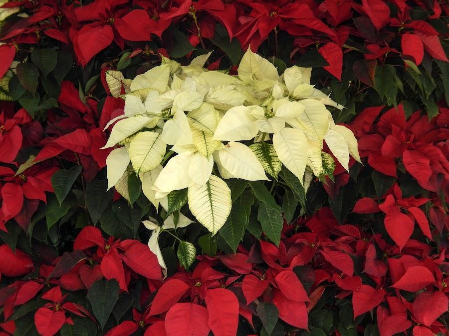 Poinsettias by Dawn Hoehn Hagler - Public Holidays Christmas ( tucson botanical gardens, tucson, arizona, poinsettia, garden, christmas )