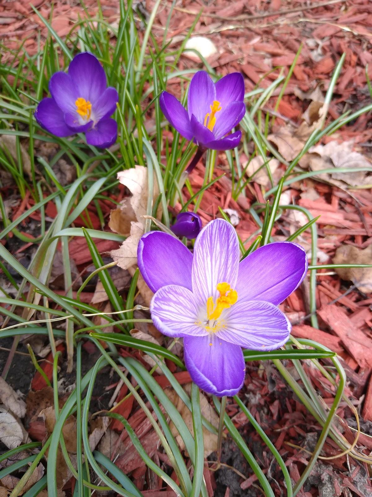 crocus flowers picture