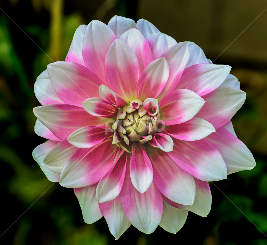 Candy Stripe by Jeanne Knoch - Nature Up Close Flowers - 2011-2013 ( , breast cancer awareness, pink, lighting, lights, mood factory, hot pink, mood, scents, color, mood-lites, sassy, brighten our world )