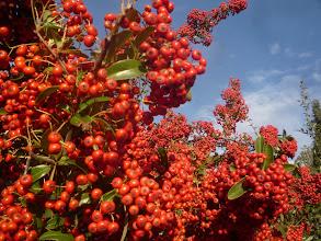 Photo: Le buisson ardent en automne avec soleil du matin.
