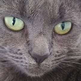 Cat by Heather Catherine - Animals - Cats Portraits ( cats, cat, portrait, eyes, grey )