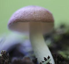 Photo: Russula flavisiccans
