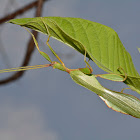Leaf Insect, Phasmid - Male