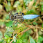 Blue tailed yellow skimmer (male)