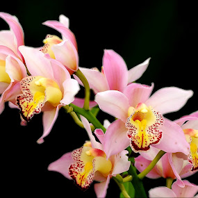 by Alvin Ngow - Nature Up Close Gardens & Produce ( malaysia plants, gift, colorful, botany, tropical plants, plants, beauty, yellow, vibrant, spring, blossom, photography, nature, 花, asia, beautiful flowers, pink, flowers, objects, black, park, 兰花, decoration, orchid flowers, breed plants, beautiful, malaysia, orchid garden, orchid, color, asia plants, outdoor, background, garden, 粉红色兰花,  )