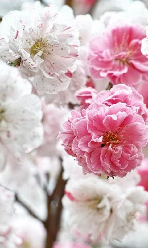 Pink White Flowers Wallpaper Screenshot