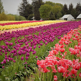 Color of Tulips  by Lavonne Ripley - Flowers Flower Gardens