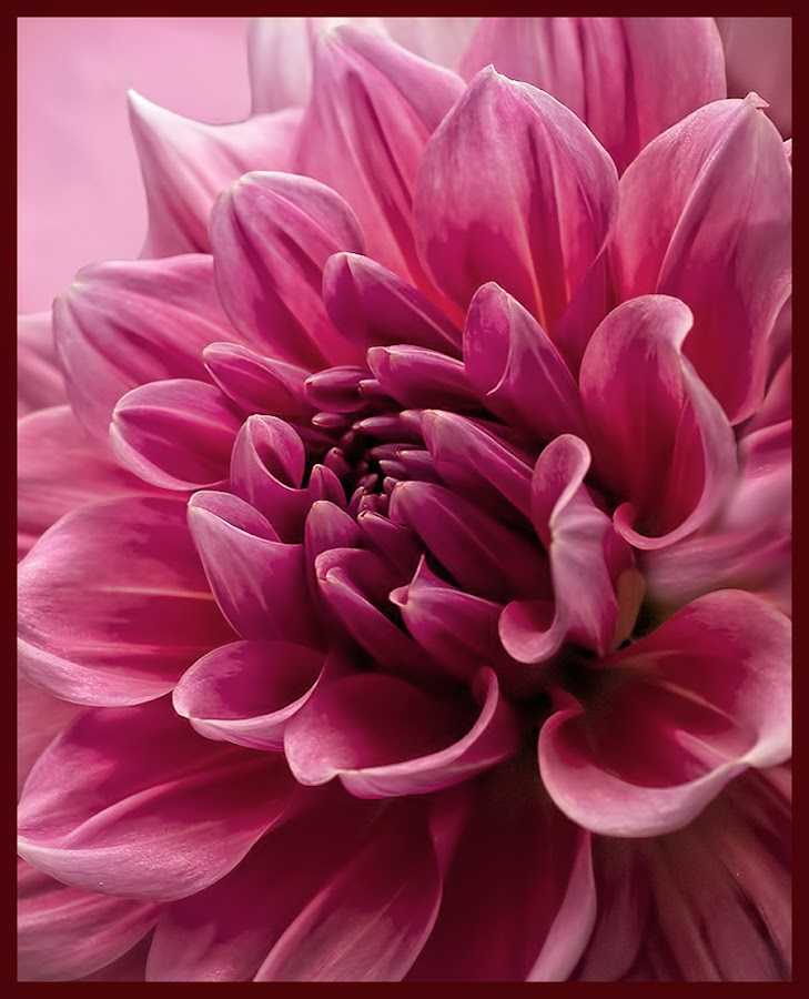 Hot Pink by Paula Eagle - Nature Up Close Flowers - 2011-2013 ( hot pink, dahlia, flower )