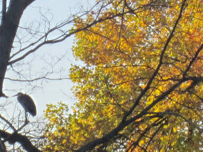 Photo: Heron perched on a tree amid the fall leaves at Eastwood Park in Dayton, Ohio.