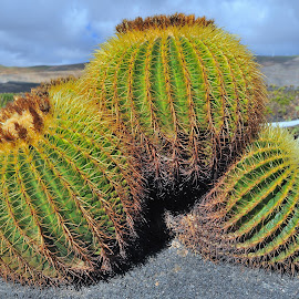 Mather in Law's cushion by Tomasz Budziak - Nature Up Close Other plants ( nature up close, cactus,  )