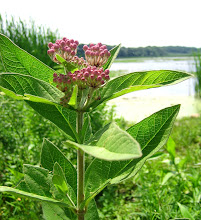 Photo: Downy Swamp Milkweed, 6.20