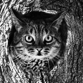 Owl cat by Paul Drajem - Black & White Animals ( cats, owl, tree, animals, black and white, portrait,  )