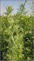 Photo: Pelin negru  (Artemisia vulgaris) - din Turda, str. Fabricii, in zona - 2019.06.22  https://ana-maria-catalina.blogspot.com/2019/07/pelin-negru-artemisia-vulgaris.html