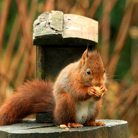 Mmmm, a peanut !! by Bob Has - Animals Other Mammals ( peanut, red, mmm, squirrel )