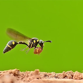 work by Balox Berhati Nyaman - Animals Insects & Spiders ( nature, macro photography, wildlife, nikon, insect )