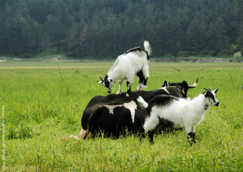 Photo: funny scene on the meadow with a cow and two young goats playing