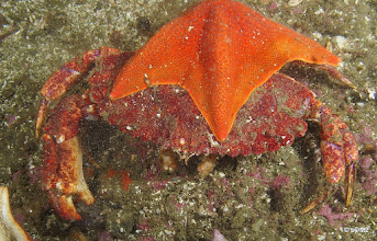 Photo: Sea star attached to crab.