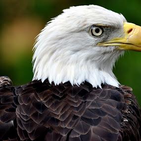 by Emily Vickers - Animals Birds ( animals, bird of prey, freedom, symbol, bald eagle, symbolic, wildlife, prey, feathers, usa, birds, bird, predator, nature, american, wings, beak, raptor )