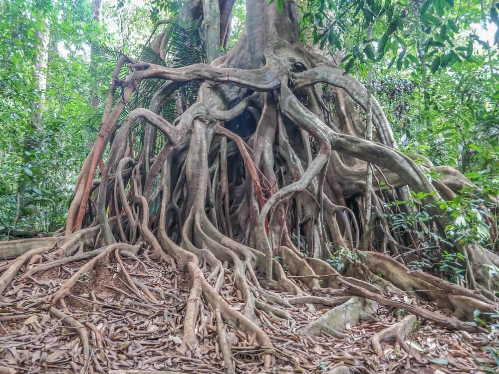 old+kapok+tree+taman+negara+malaysia