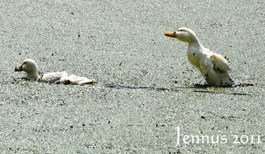 Photo: kleine Enten in der Grütze