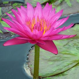 Water Lily by Dawn Hoehn Hagler - Flowers Single Flower ( pink flower, aquatic flower, chicago botanic garden, pink, water lily, garden, flower,  )