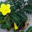 Jamaica feverplant