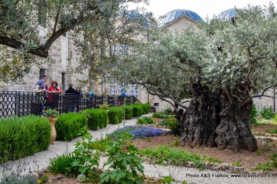 Гефсиманский сад. На экскурсии в Иерусалиме с гидом Светланой Фиалковой.