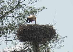 Photo: Lithuania has 10% of all of the storks in the world - about 20,000.  March 23 is the day of the stork here.  They are considered to be good luck.