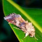 Cotton cutworm moth