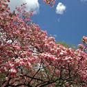 pink dogwood, flowering dogwood
