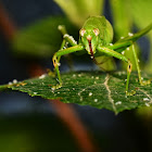 oblong-winged katydid