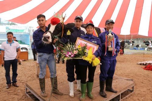 Du lịch Mộc Châu, hội thi hoa hậu bò sữa 4