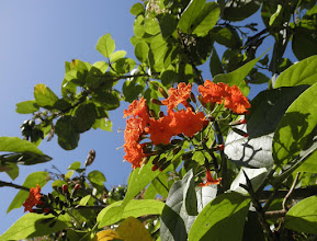 Photo: Broadleaf (Scarlet Cordia) -  Cordia sebestena var. caymanensis, BORAGINACEAE,  one of Cayman's 28 endemic plant species. It grows everywhere –  in dry rocky woodlands, on the beach, on cliff rock, in swampy areas, in parks and gardens. Photo: Ann Stafford, April 7, 2010