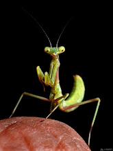 Photo: Baby mantis on my finger